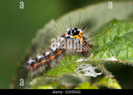 Yellow-tail moth (Euproctis similis) caterpillar. Larva of moth in the family Erebidae (formerly Lymantriidae) covered - Stock Photo