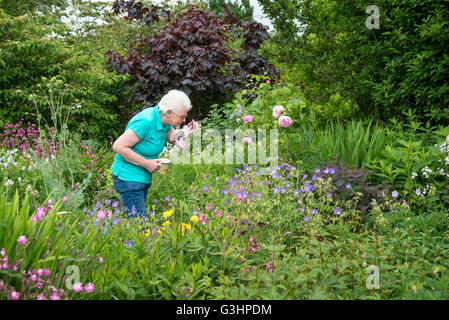 Mature lady smells roses in an English country garden. She stands holding a cup of tea. - Stock Photo