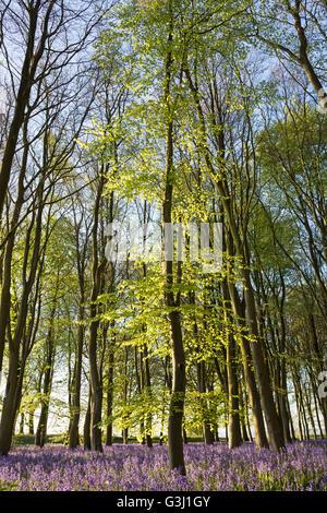Beech tree in bluebell wood, 'Badbury Clump', 'Badbury Hill', Oxfordshire, England, UK - Stock Photo