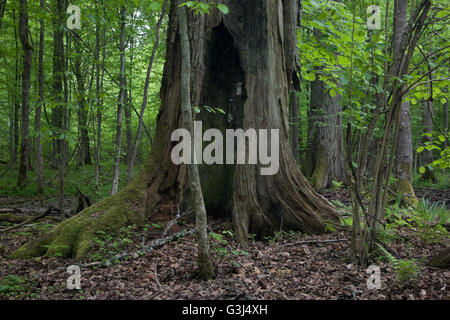 Old oak almost dead still standing against young hornbeam stand,Bialowieza Forest,Poland,Europe - Stock Photo