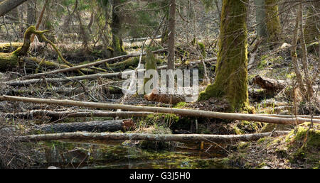 Broken trees lying in spring in deciduous stand of Bialowieza Forest, Poland, Europe - Stock Photo