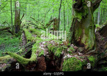 Dead broken trees moss wrapped with ferns grows over, Bialowieza Forest, Poland, Europe - Stock Photo