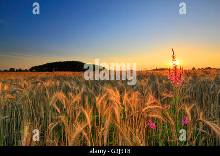 Sunset in the wheat field - Stock Photo