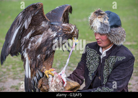 Golden eagle gets fed by the eagle hunter, Kyrgyzstan. - Stock Photo