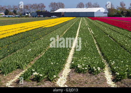 Stripes of harvested tulips near village of Lisse in the Netherlands in May - Stock Photo