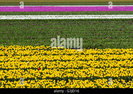 Horizontal stripes of yellow, white and pink tulip fields near village of Lisse in the Netherlands in May - Stock Photo