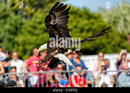 Barry the American Bald Eagle (Haliaeetus leucocephalus) with falconer Ben Potter at the 2016 Royal Bath & West - Stock Photo