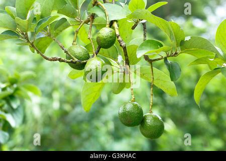 Avocado fruits (Persea americana) on the tree - Stock Photo