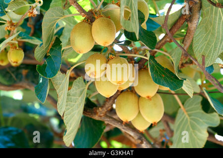 Kiwifruit /Chinese gooseberry (Actinidia sp.) on the vine tree. Kiwifruit is native to China and wide spread to - Stock Photo