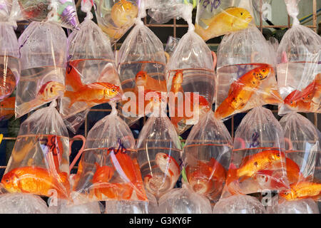 Gold Fishes for sale, swimming in plastic bags, Goldfish Market, District Mong Kok, Kowloon, Hong Kong, China - Stock Photo