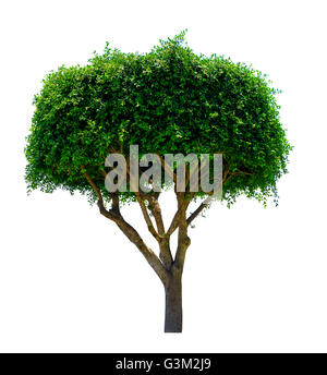ornamental tree. Isolated over white background . - Stock Photo