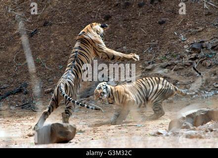 The image of Tiger ( Panthera tigris ) Mayas cubs playing in Tadoba national park, India - Stock Photo