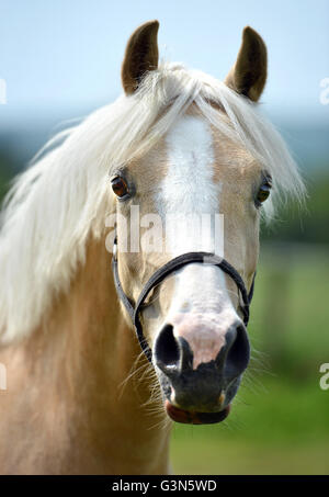 Young pale horse (filly) - Stock Photo