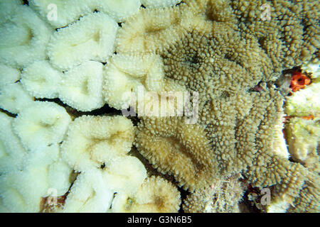 Some of the coral polyps in this colony have bleached (white), while adjoining polyps have not or are recovering - Stock Photo