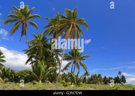 Coconut palm trees, Christmas Island, Kiribati - Stock Photo