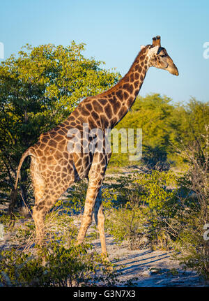 The giraffe (Giraffa camelopardalis) is an African even-toed ungulate mammal, the tallest living terrestrial animal - Stock Photo