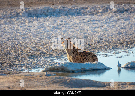 The spotted hyena (Crocuta crocuta), also known as the laughing hyena, is a species of hyena - Stock Photo