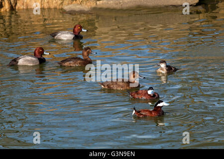 North American Ruddy Ducks (Oxyura jamaicensis) front right and Redhead (Aytha americana), behind and left. Both - Stock Photo