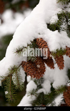 Branch of pine tree with cones snow covered - Stock Photo