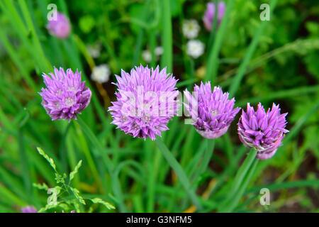 Flowers of common edible chives, Allium schoenoprasum, in garden - Stock Photo