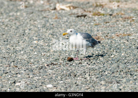 An adult herring gull, Larus argentatus, feeding on a snail on a pebbled beach near Victoria British Columbia, Canada - Stock Photo