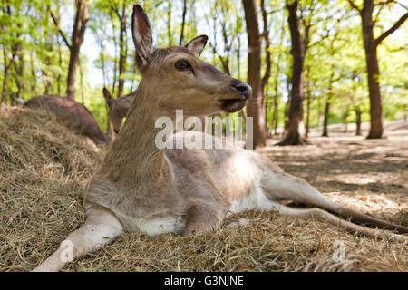 Sika deer or Japanese deer (Cervus nippon), hind, Ernstbrunn zoo, Lower Austria, Austria, Europe - Stock Photo