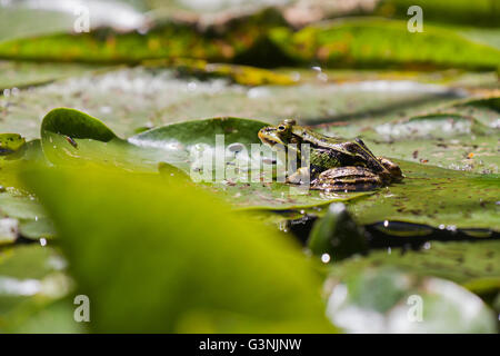Green frog (Pelophylax esculentus), Schrems upland moor nature park, Waldviertel, Forest Quarter, Lower Austria, - Stock Photo