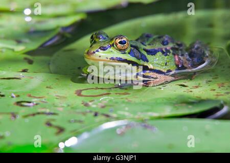 Green frog (Pelophylax esculentus), Schrems upland moor nature park, Waldviertel, Forest Quarter, Lower Austria, - Stock Photo
