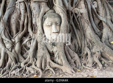 Buddha head statue in bodhi tree (Ficus religiosa), roots, Wat Mahathat, Buddhistic temple complex, Ayutthaya, Thailand - Stock Photo
