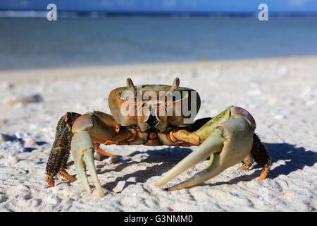 Crab on a white sandy beach, Christmas island, Kiribati - Stock Photo