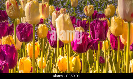 Striking spring border single late tulips - Stock Photo