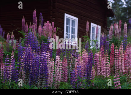 Sweden, Dalarna, Solleron, Picture of lupines - Stock Photo