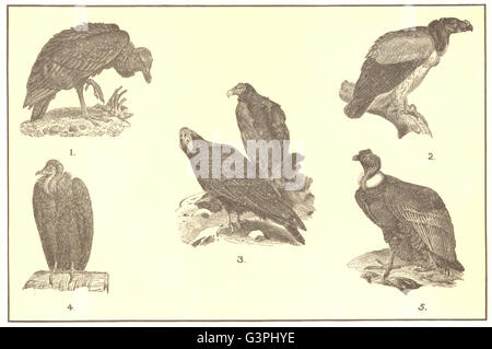 BIRDS OF PREY: Carrion Crow King Vulture Turkey Buzzard Pileated Condor, 1907 - Stock Photo