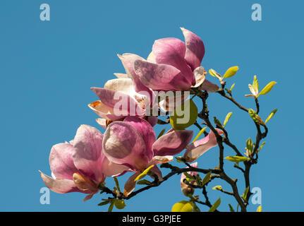 Flowering Saucer magnolia (Magnolia soulangeana alexandrina), Smetanovy sady, Olomouc, Czech Republic, Europe - Stock Photo