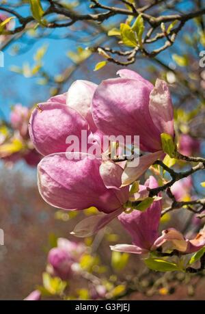 Flowering Saucer magnolia (Magnolia soulangeana 'Rustica Rubra'), Smetanovy sady, Olomouc, Czech Republic, Europe - Stock Photo