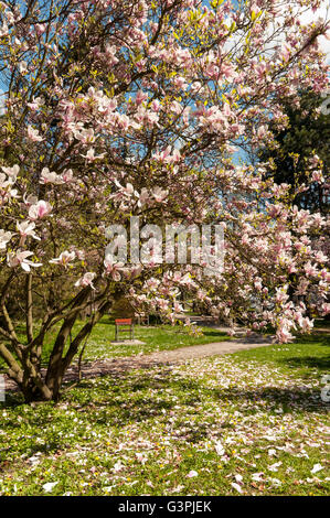 Flowering Saucer magnolia (Magnolia soulangeana amabilis), Smetanovy sady, Olomouc, Czech Republic, Europe - Stock Photo
