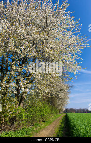 blooming cherry tree at a hedge bank, oldenburg münsterland, niedersachsen, germany - Stock Photo