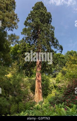 Giant tree conifer - Stock Photo