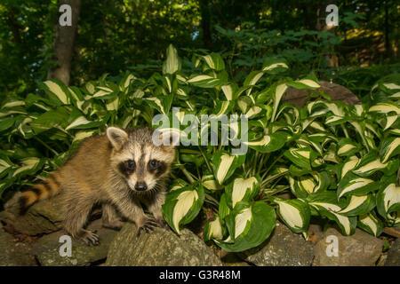 A baby raccoon climbing a rock wall in the garden. - Stock Photo