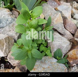 Loewenmaul, Antirrhinum, majus, Sproessling - Stock Photo