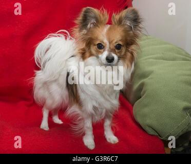 Close-up portrait puppy Papillon dog (Canis lupus familiaris). - Stock Photo