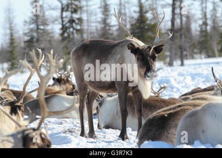 Reindeer in the herd. Yamal tundra. - Stock Photo