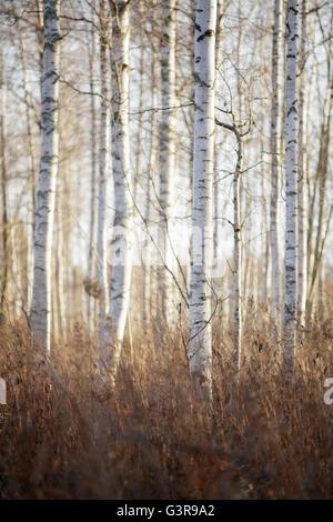 Sweden, Dalarna, Birch trees in autumn forest - Stock Photo