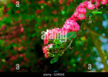 HAWTHORN IN FLOWER - Stock Photo