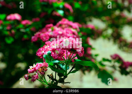 HAWTHORN IN FLOWER BEFORE IT DRIES AND SCATTERS. - Stock Photo