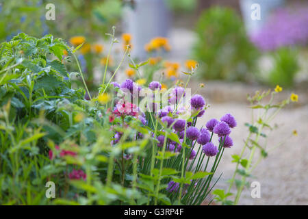Flowering Chives in a cottage garden. - Stock Photo