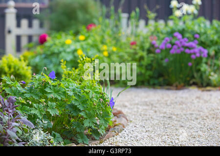 Blue Geranium flowers in a cottage garden in Wales. - Stock Photo