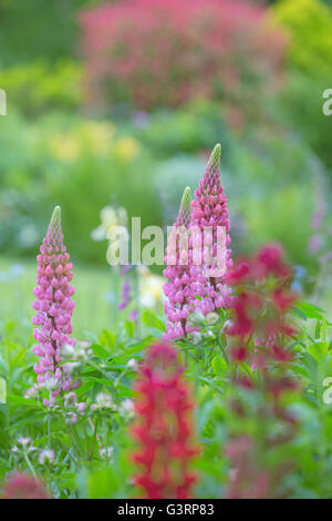 Pink Lupin flowers in a cottage garden in Wales. - Stock Photo