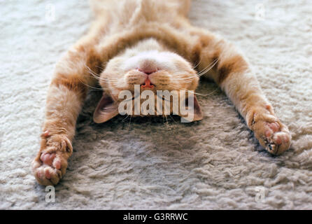 A house cat with outstretched paws naps peacefully on its back on a soft carpet. He is exhausted, relaxed and sleeping - Stock Photo