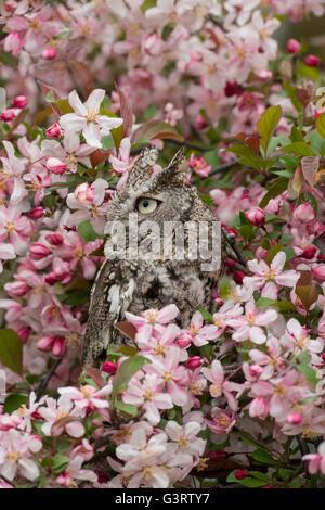 Eastern or Common Screech Owl Otus asio, gray phase, sitting in flowering Apple tree, Eastern USA - Stock Photo